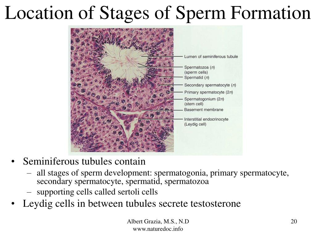 Location of Stages of Sperm Formation