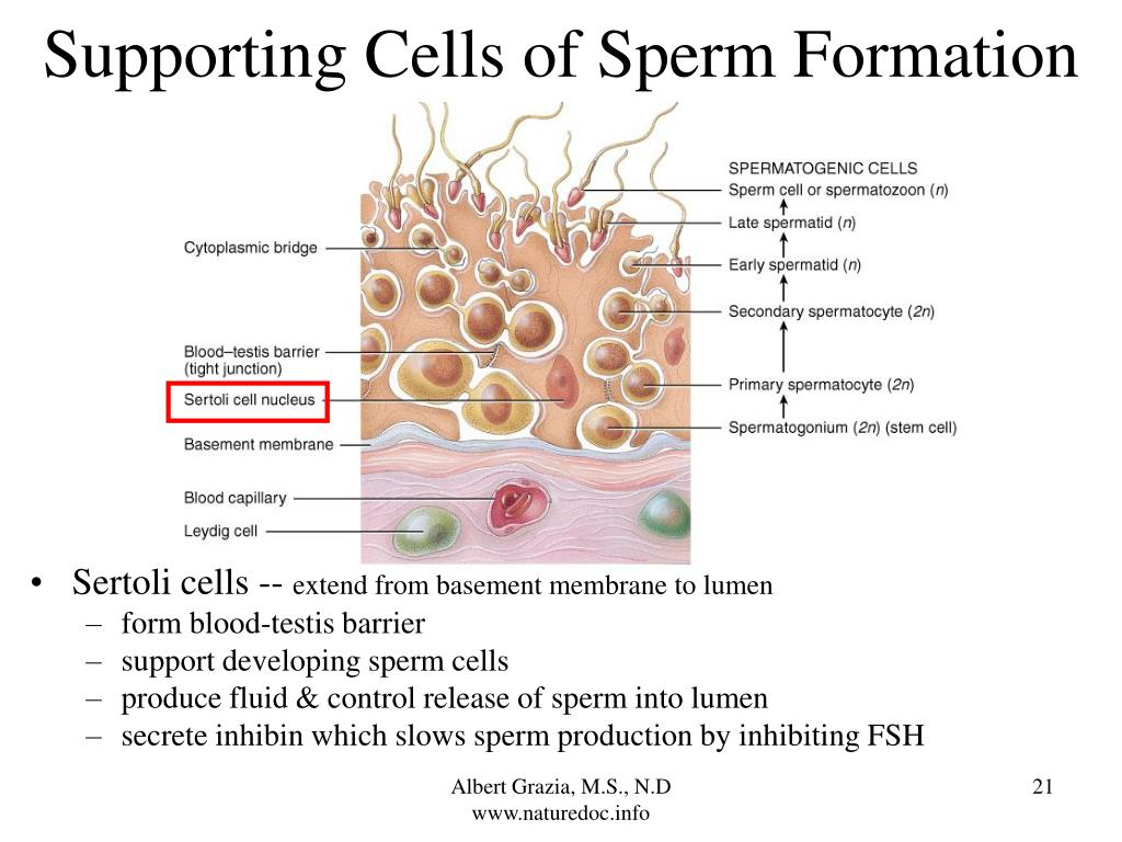 Supporting Cells of Sperm Formation