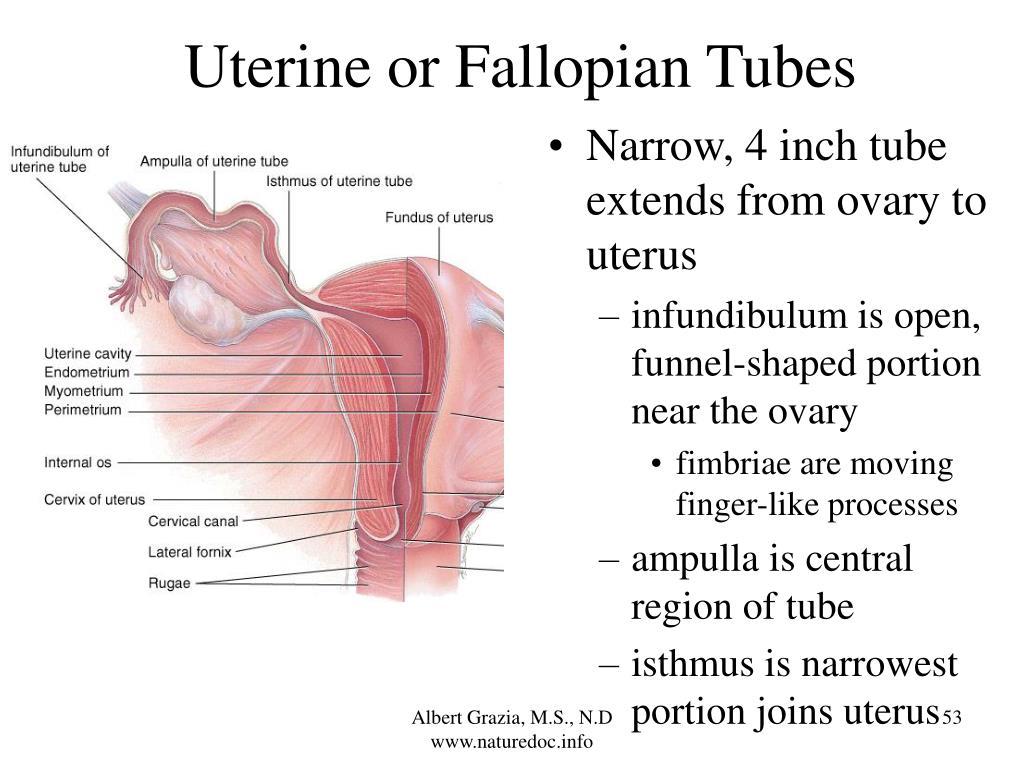 Uterine or Fallopian Tubes