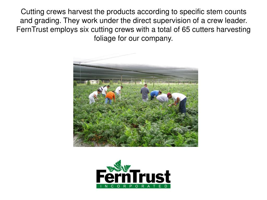 Cutting crews harvest the products according to specific stem counts and grading. They work under the direct supervision of a crew leader.  FernTrust employs six cutting crews with a total of 65 cutters harvesting foliage for our company.