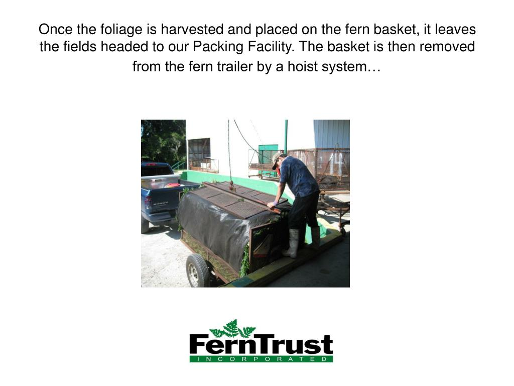 Once the foliage is harvested and placed on the fern basket, it leaves the fields headed to our Packing Facility. The basket is then removed from the fern trailer by a hoist system…