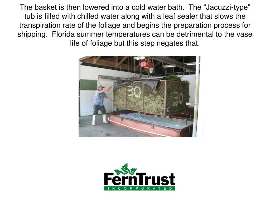 "The basket is then lowered into a cold water bath.  The ""Jacuzzi-type"" tub is filled with chilled water along with a leaf sealer that slows the transpiration rate of the foliage and begins the preparation process for shipping.  Florida summer temperatures can be detrimental to the vase life of foliage but this step negates that."