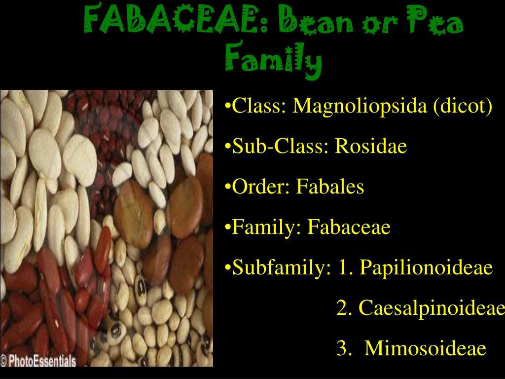 FABACEAE: Bean or Pea Family