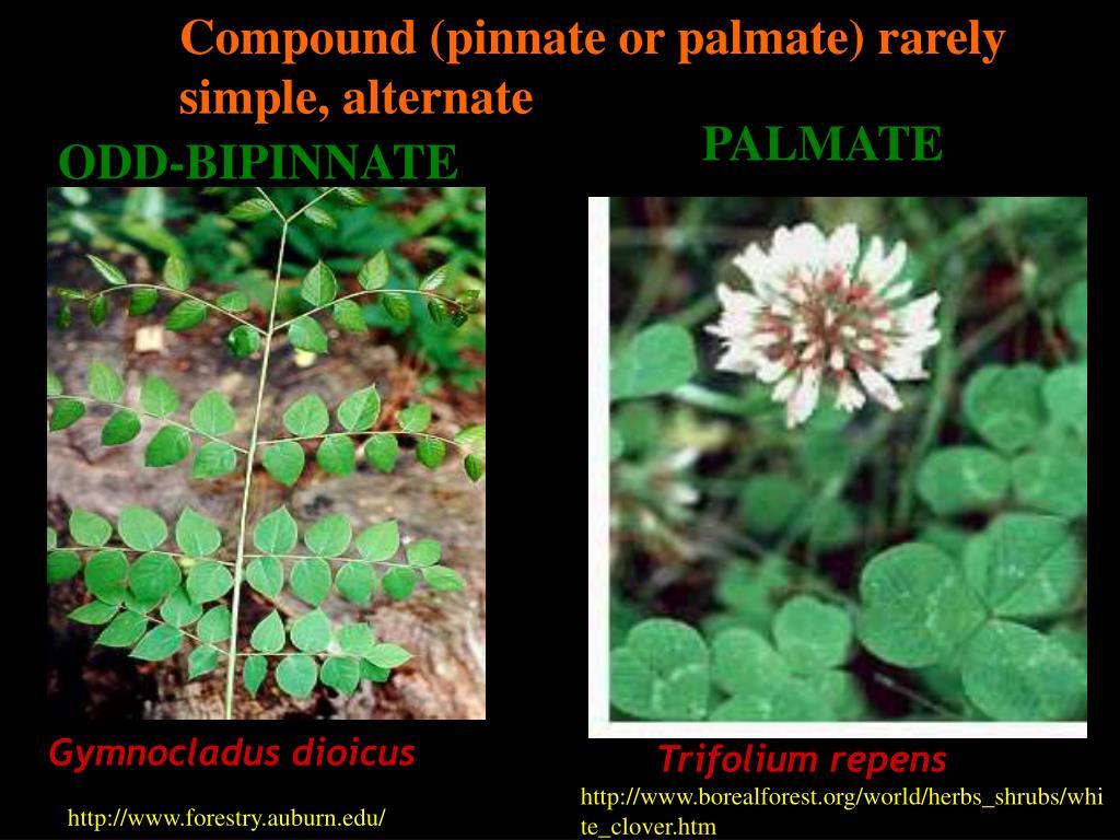 Compound (pinnate or palmate) rarely simple, alternate