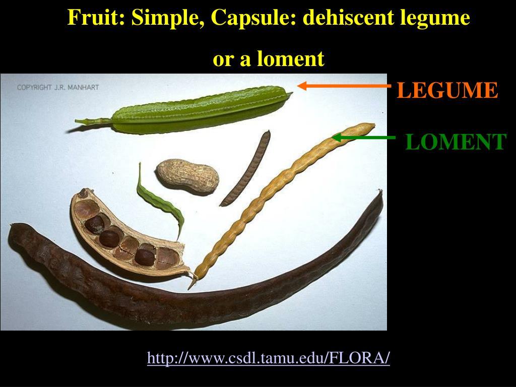 Fruit: Simple, Capsule: dehiscent legume