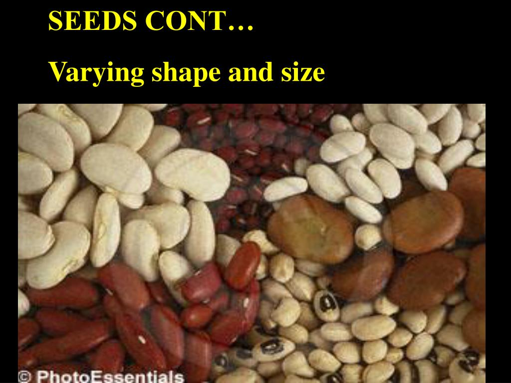 SEEDS CONT…