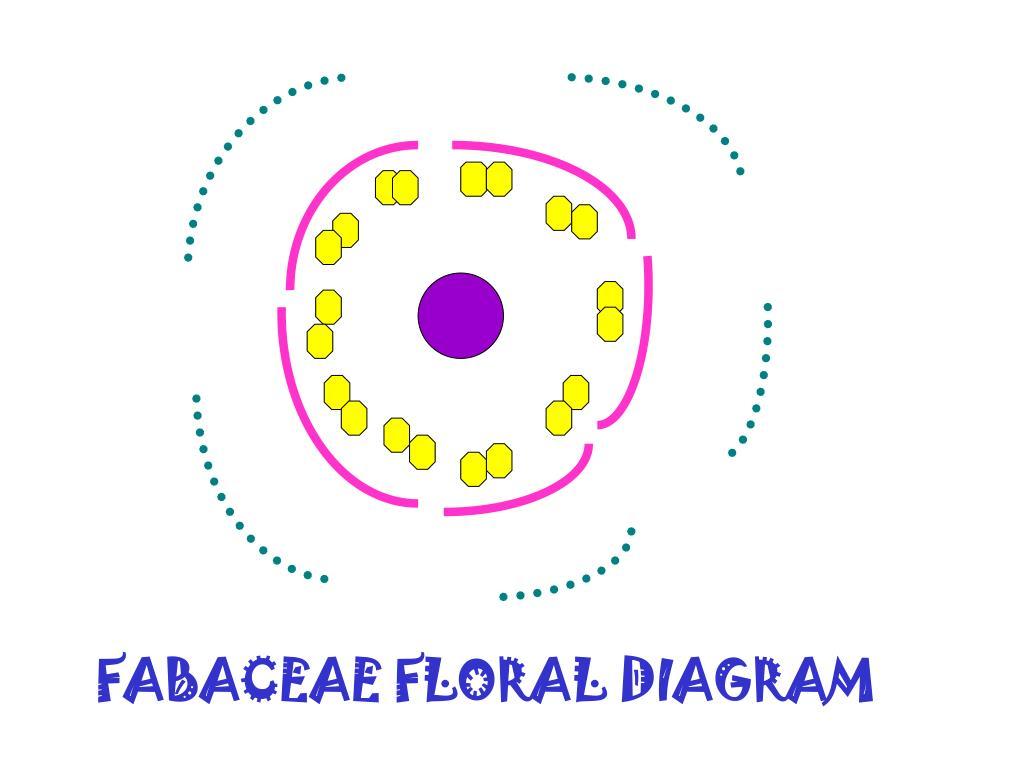 FABACEAE FLORAL DIAGRAM