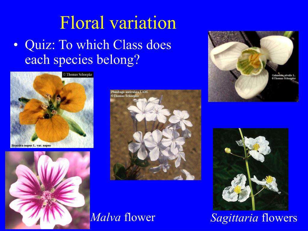 Floral variation
