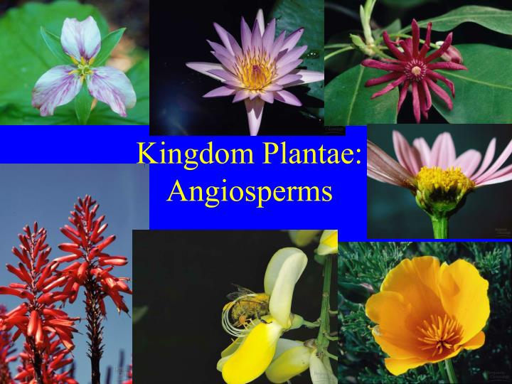 Kingdom plantae angiosperms