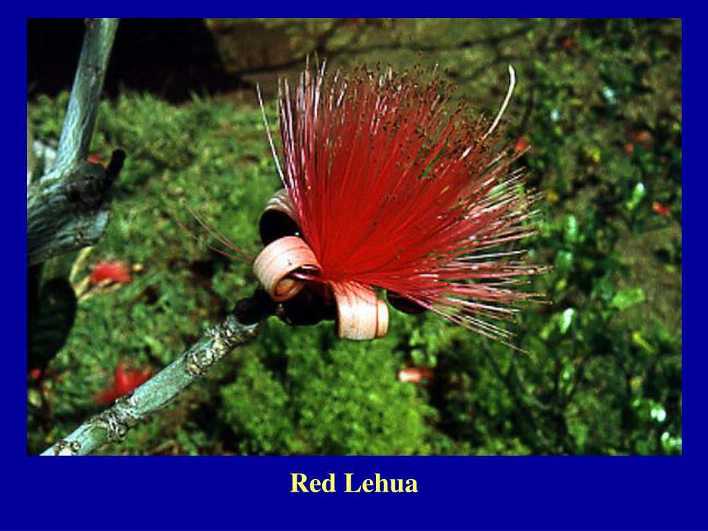 Red Lehua