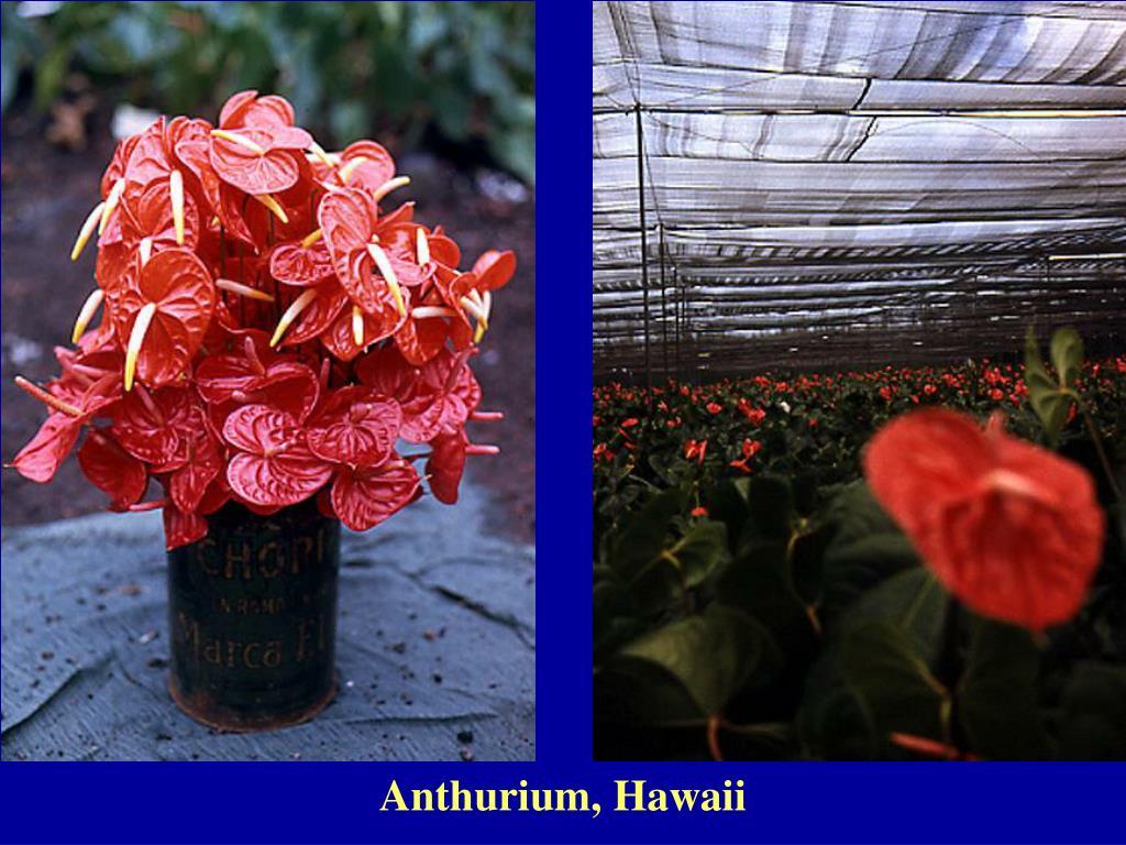 Anthurium, Hawaii