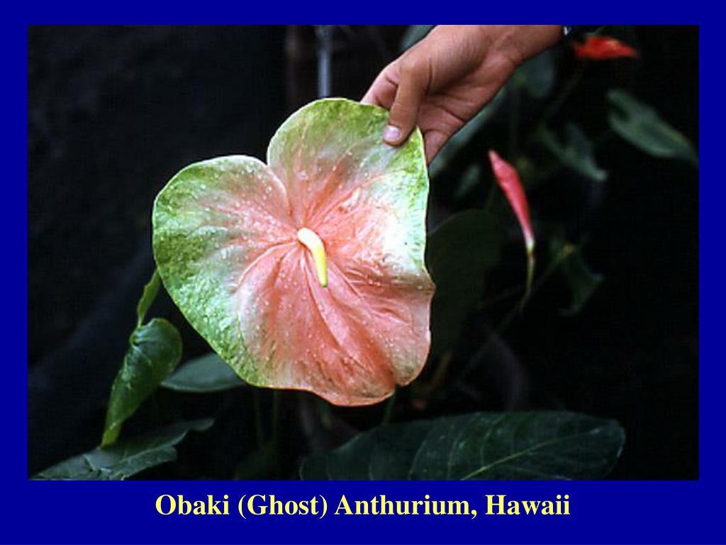 Obaki (Ghost) Anthurium, Hawaii