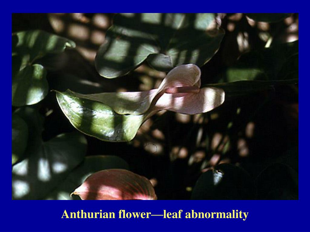 Anthurian flower—leaf abnormality