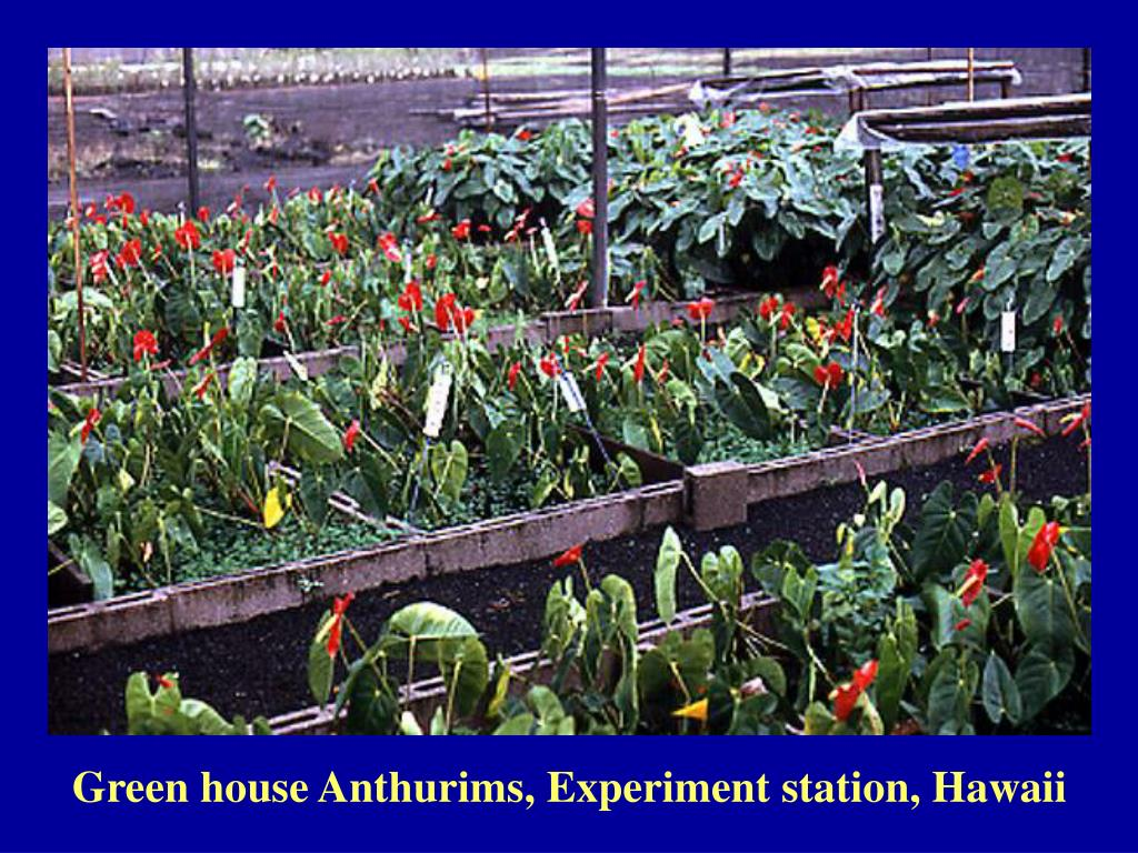 Green house Anthurims, Experiment station, Hawaii
