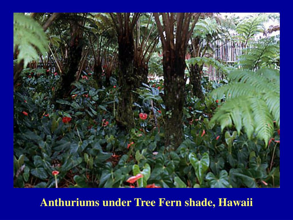 Anthuriums under Tree Fern shade, Hawaii