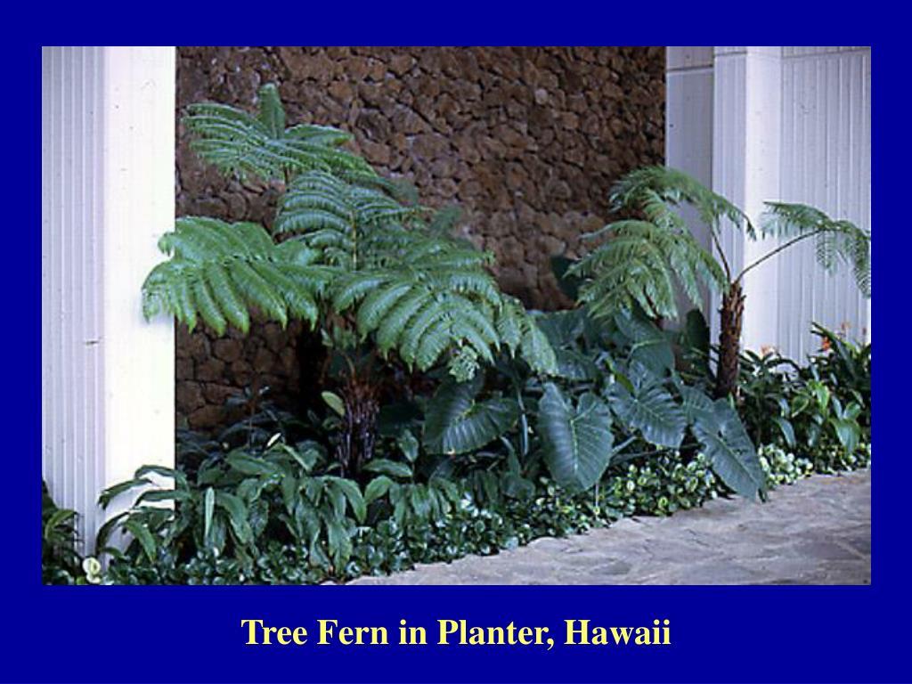 Tree Fern in Planter, Hawaii