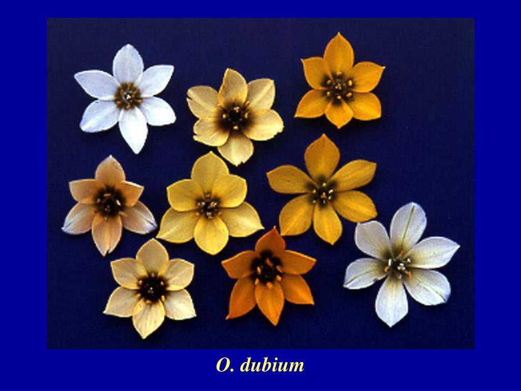 O. dubium