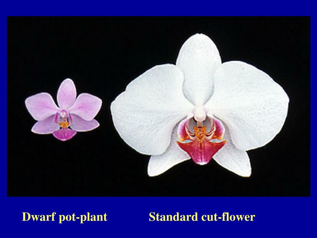 Dwarf pot-plant