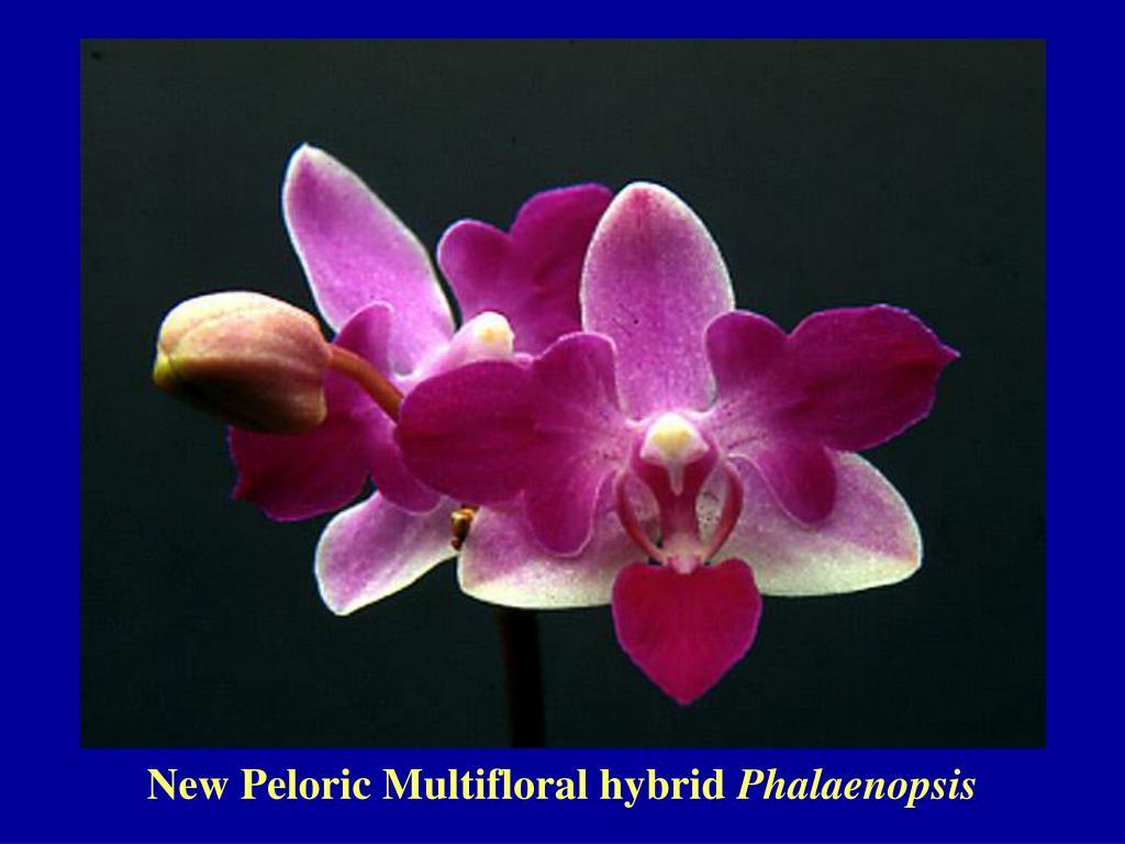 New Peloric Multifloral hybrid