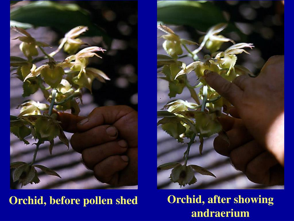 Orchid, after showing andraerium