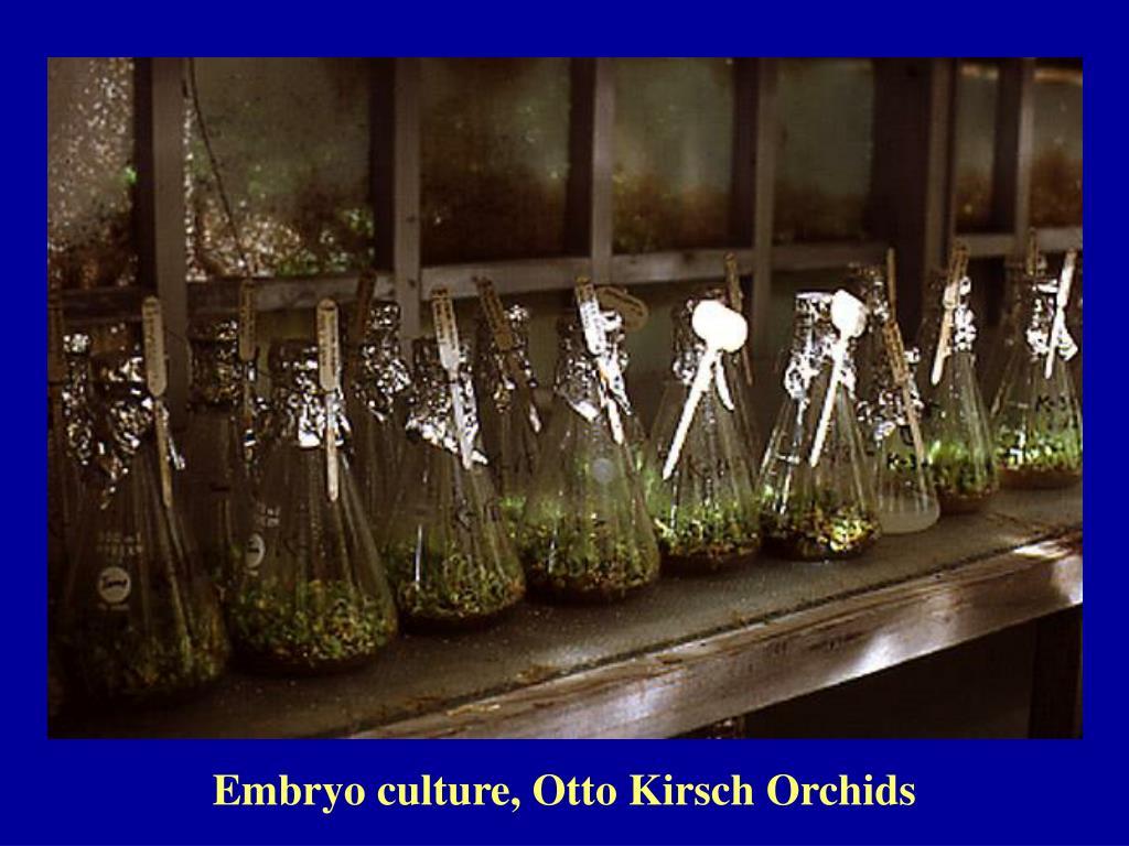Embryo culture, Otto Kirsch Orchids