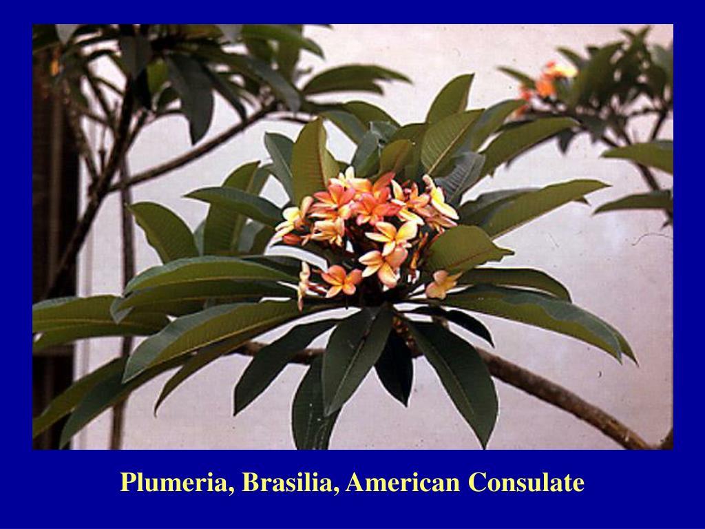 Plumeria, Brasilia, American Consulate