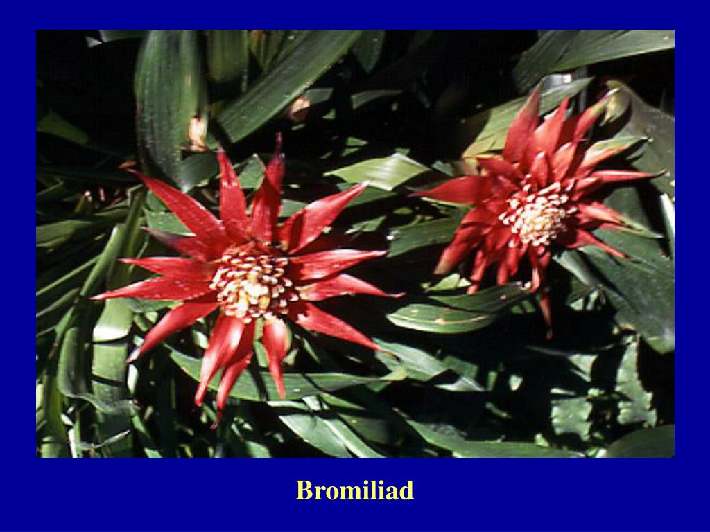 Bromiliad