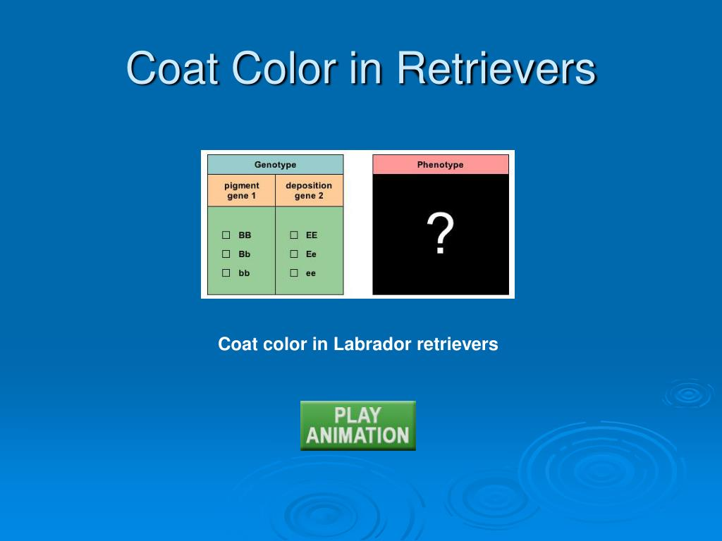Coat Color in Retrievers