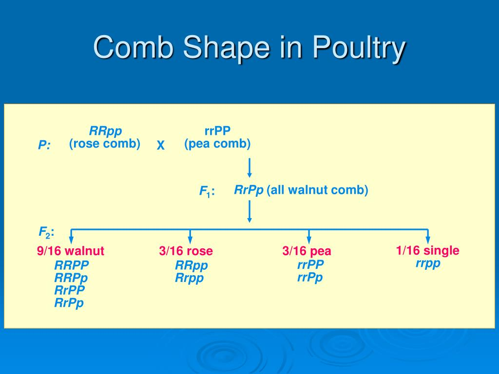 Comb Shape in Poultry