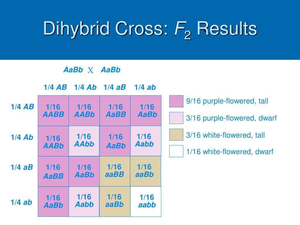 Dihybrid Cross: