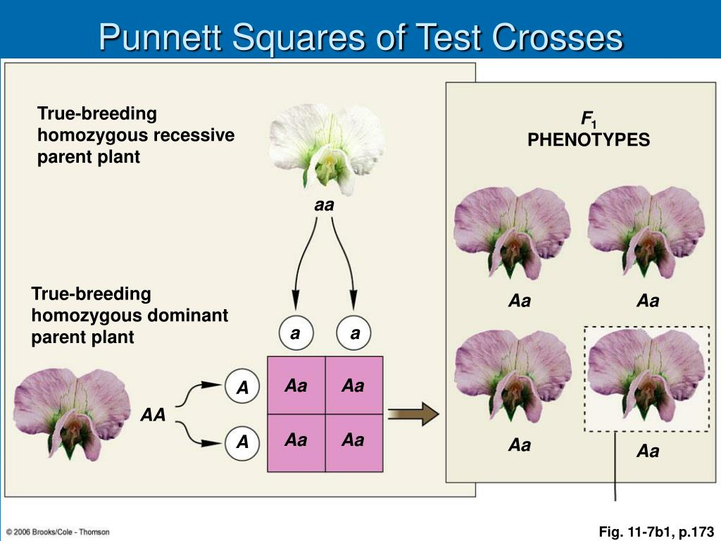 Punnett Squares of Test Crosses