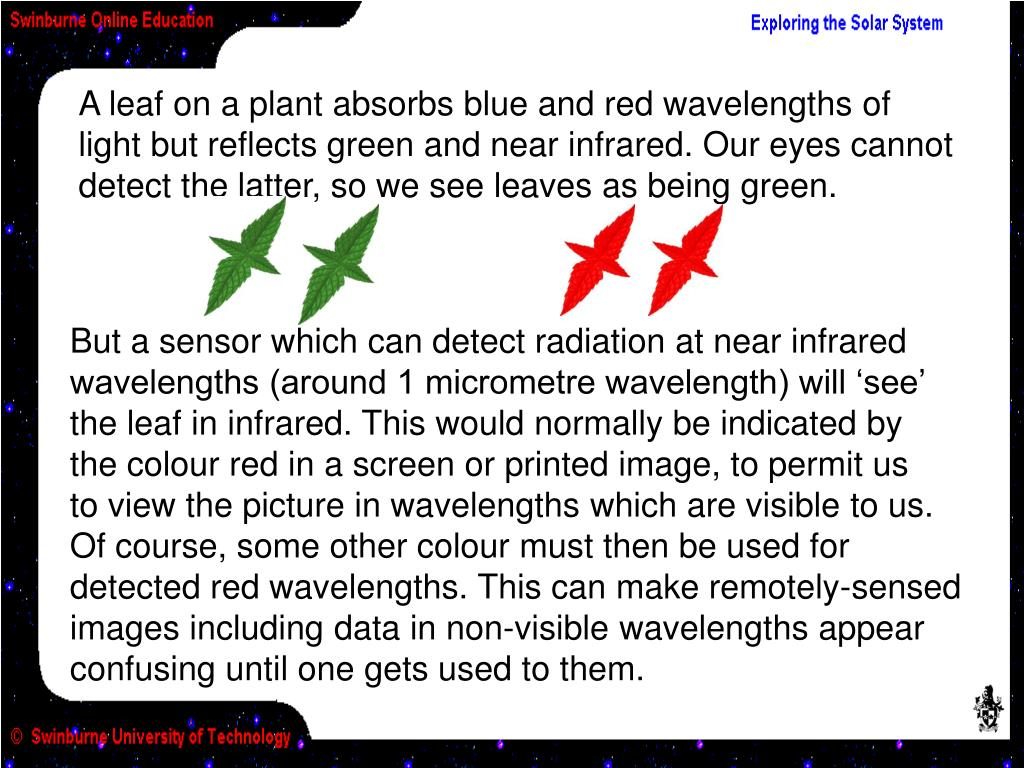 A leaf on a plant absorbs blue and red wavelengths of light but reflects green and near infrared. Our eyes cannot detect the latter, so we see leaves as being green.