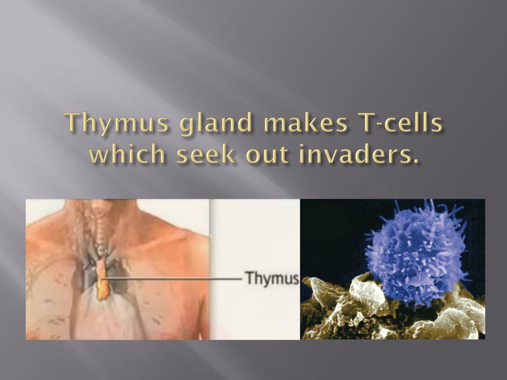 Thymus gland makes T-cells