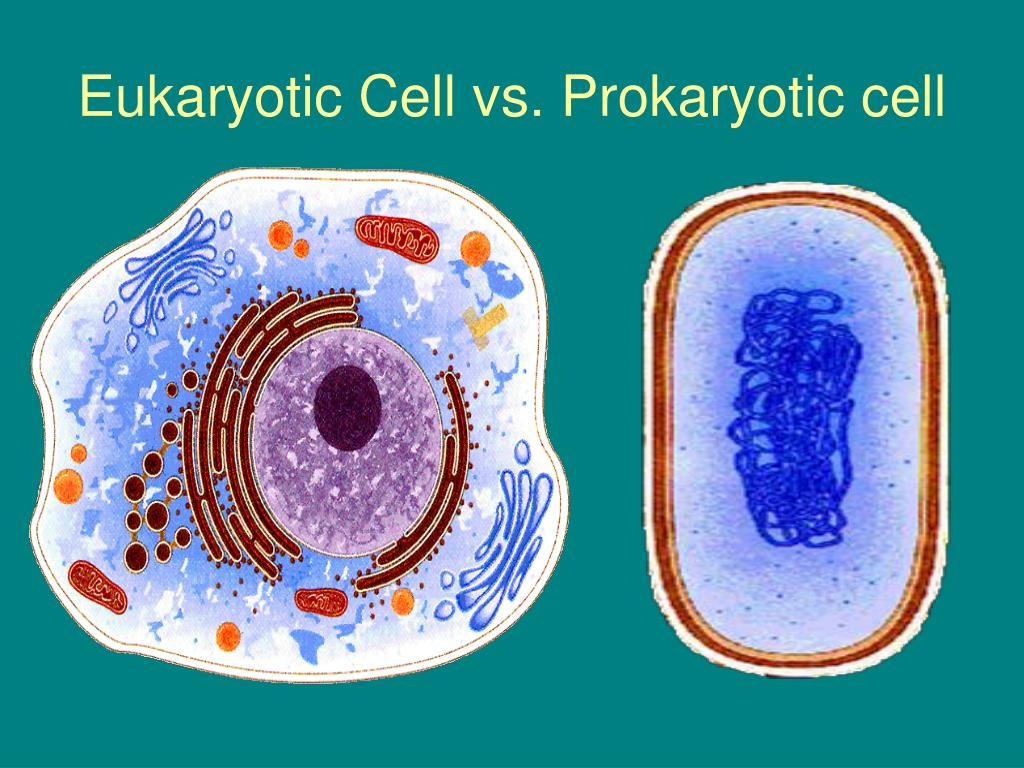 eukaryotic cell Eukaryotic definition, any organism having as its fundamental structural unit a cell type that contains specialized organelles in the cytoplasm, a membrane-bound nucleus enclosing genetic material organized into chromosomes, and an elaborate system of division by mitosis or meiosis, characteristic of all life forms except bacteria, blue-green algae, and other primitive microorganisms.