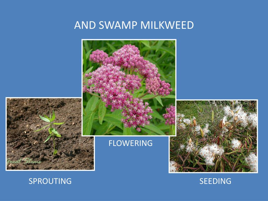 AND SWAMP MILKWEED