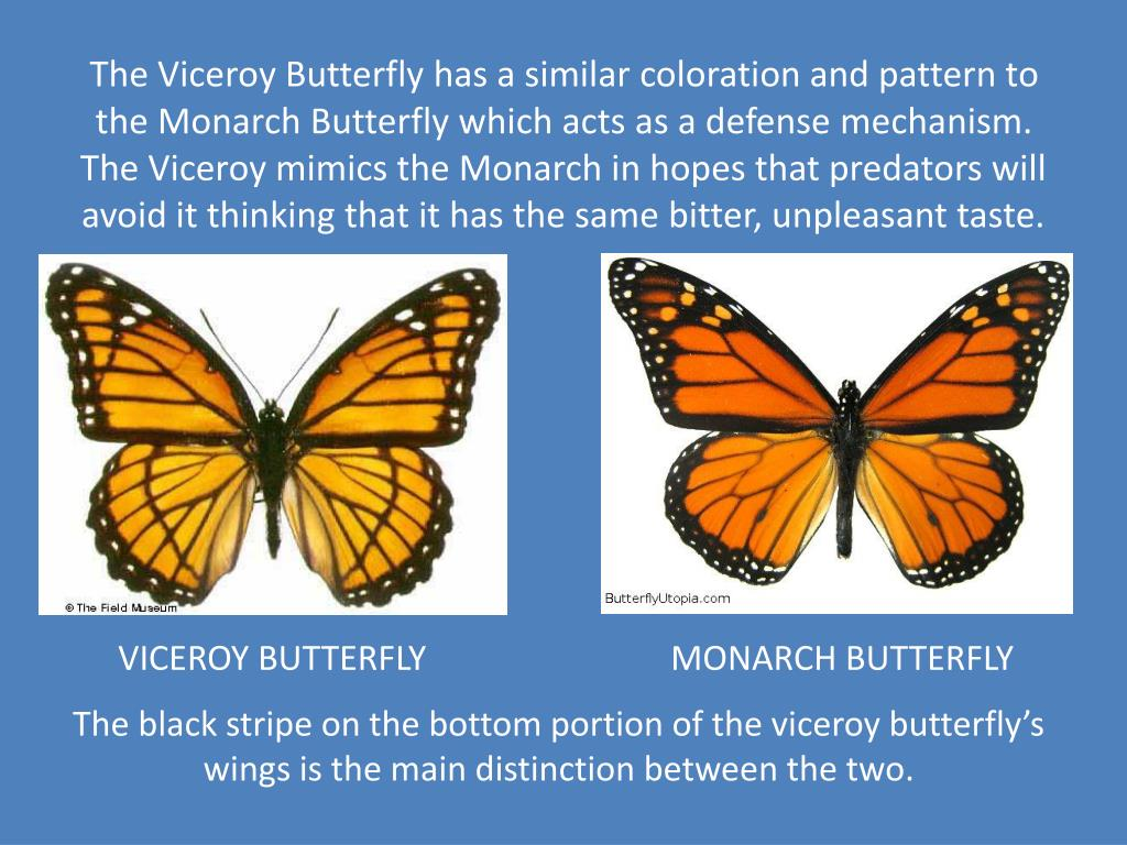 The Viceroy Butterfly has a similar coloration and pattern to the Monarch Butterfly which acts as a defense mechanism. The Viceroy mimics the Monarch in hopes that predators will avoid it thinking that it has the same bitter, unpleasant taste.