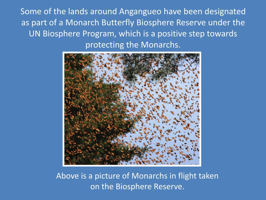 Some of the lands around Angangueo have been designated as part of a Monarch Butterfly Biosphere Reserve under the UN Biosphere Program, which is a positive step towards protecting the Monarchs.