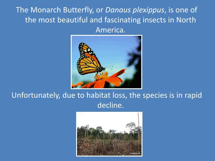 The Monarch Butterfly, or