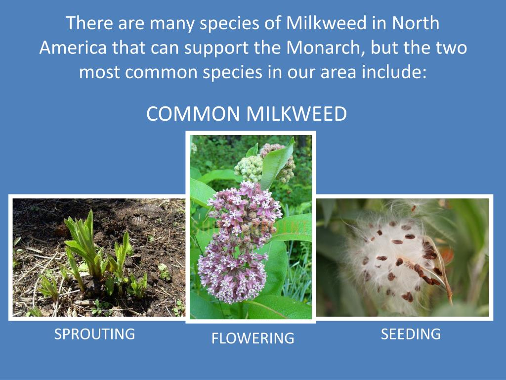 There are many species of Milkweed in North America that can support the Monarch, but the two most common species in our area include: