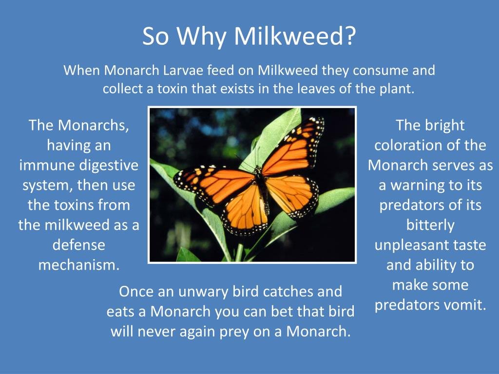 So Why Milkweed?