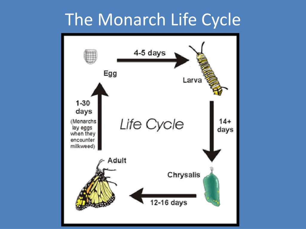 The Monarch Life Cycle