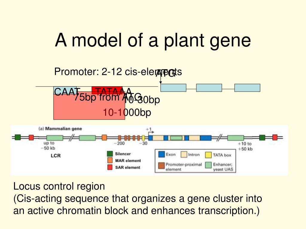 A model of a plant gene