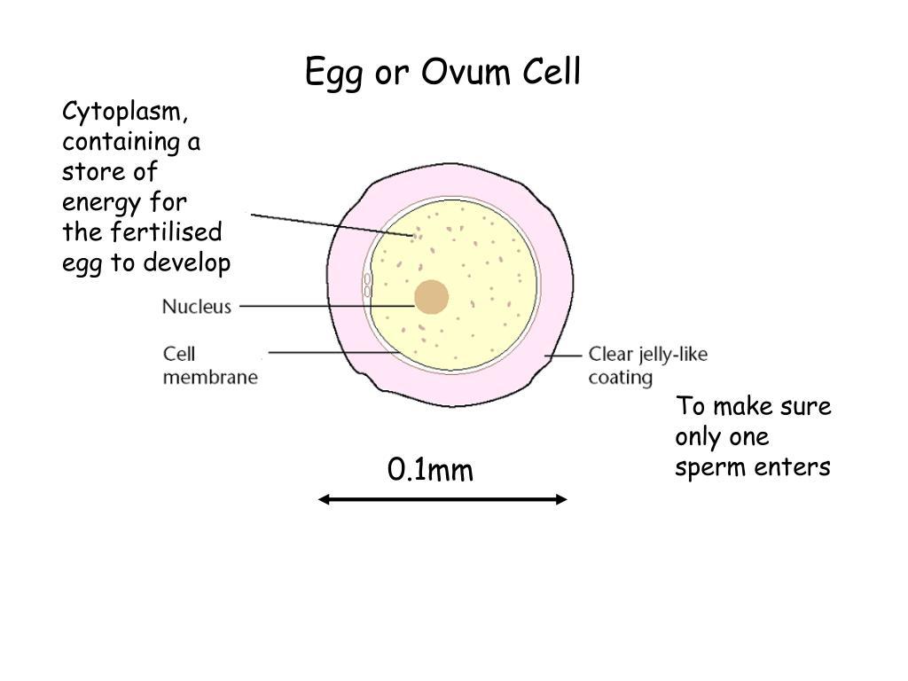 Egg or Ovum Cell