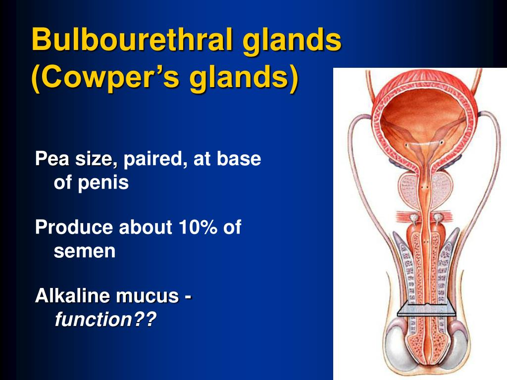 Bulbourethral glands (Cowper's glands)
