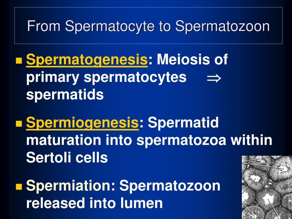 From Spermatocyte to Spermatozoon