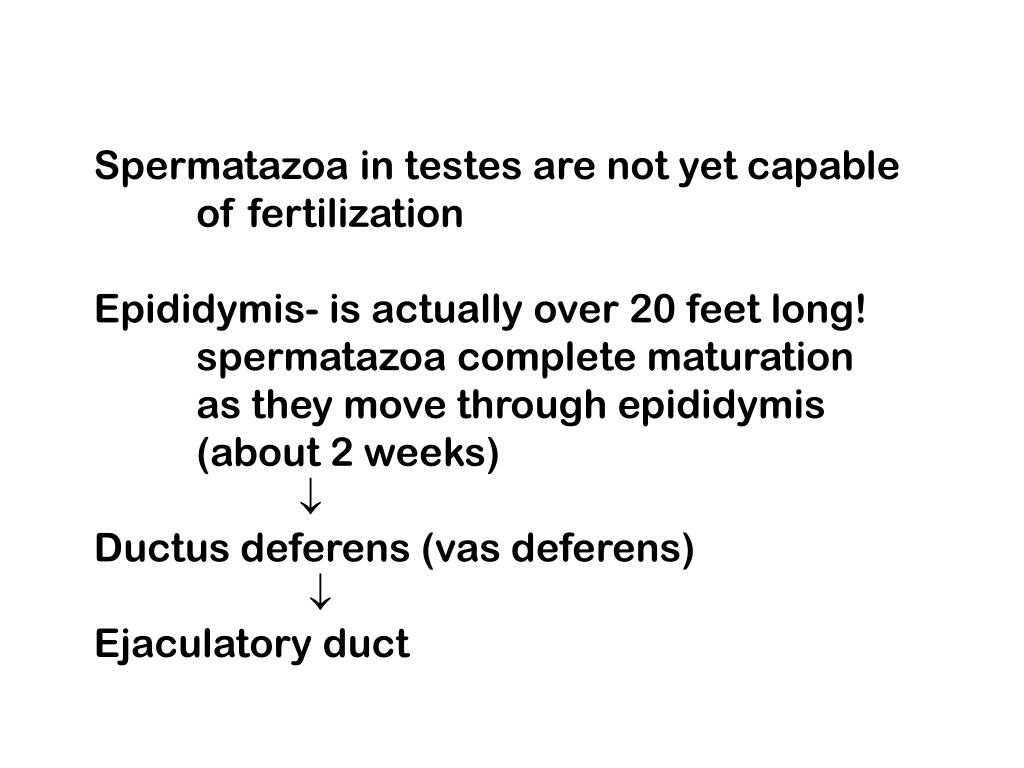 Spermatazoa in testes are not yet capable