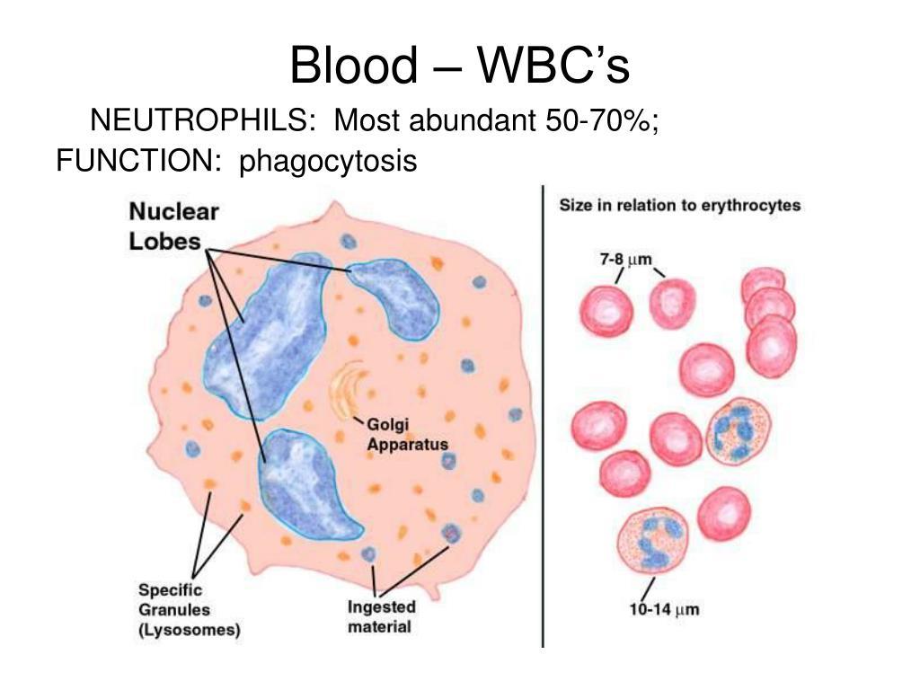 Blood – WBC's