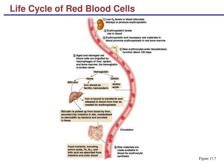 Life Cycle of Red Blood Cells