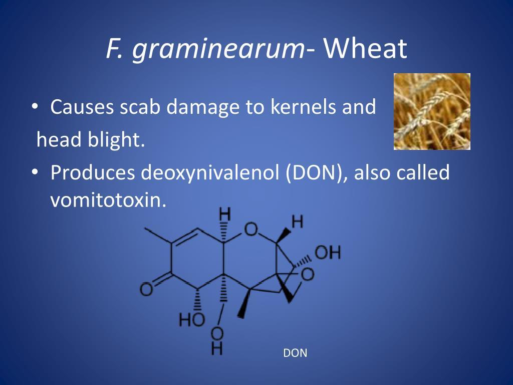 F. graminearum