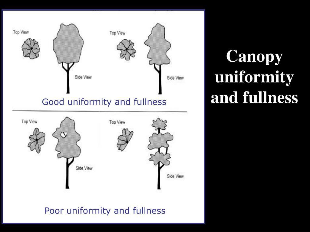 Canopy uniformity and fullness